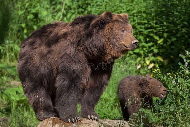 Beringianus för arctos för Kamchatka brunbjörnUrsus fotografering för bildbyråer