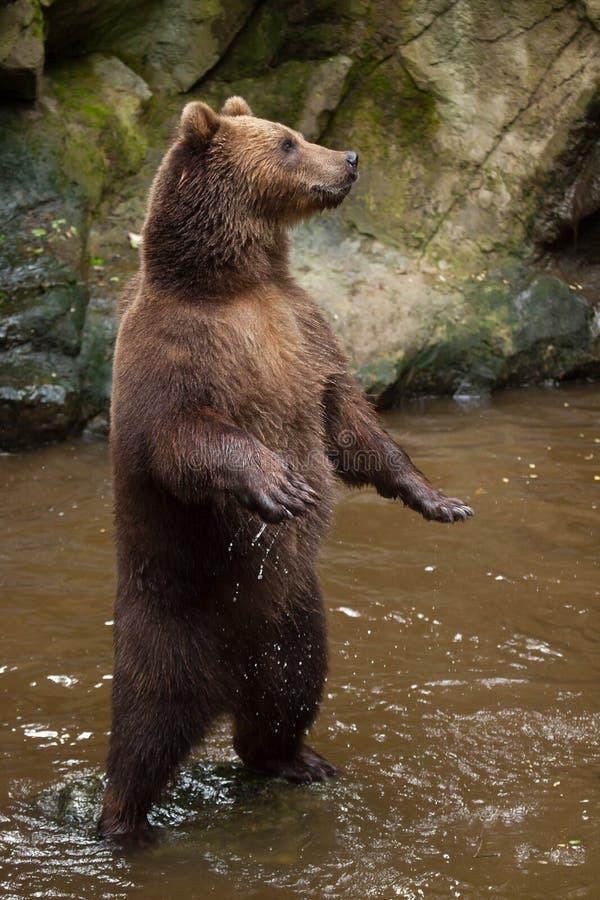 Beringianus för arctos för Kamchatka brunbjörnUrsus royaltyfria bilder