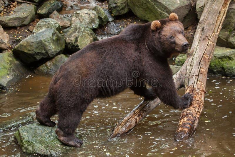 Beringianus för arctos för Kamchatka brunbjörnUrsus royaltyfri bild