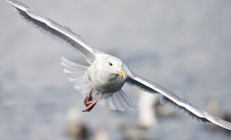 Beringmeeuw volwassen vliegend; Glaucous-winged Gull adult flying stock images