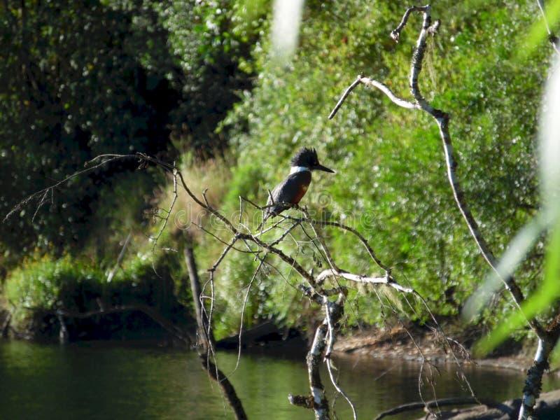 Beringte Eisvogelstellung auf einem Baum stockfotografie