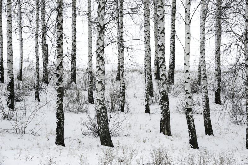Berk in de winter royalty-vrije stock afbeeldingen