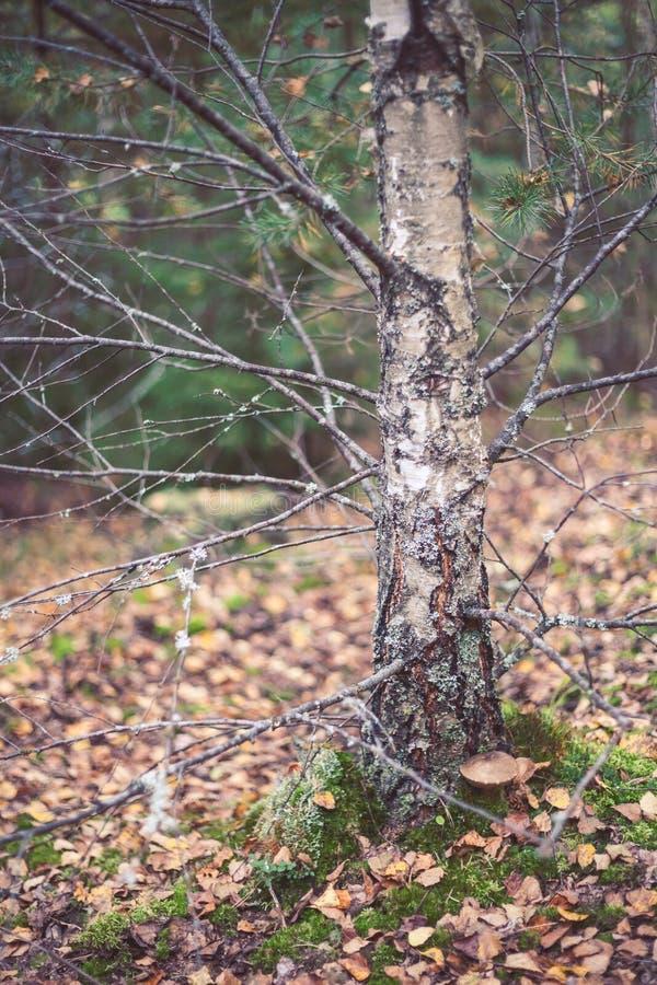 Berk in het bos stock afbeelding