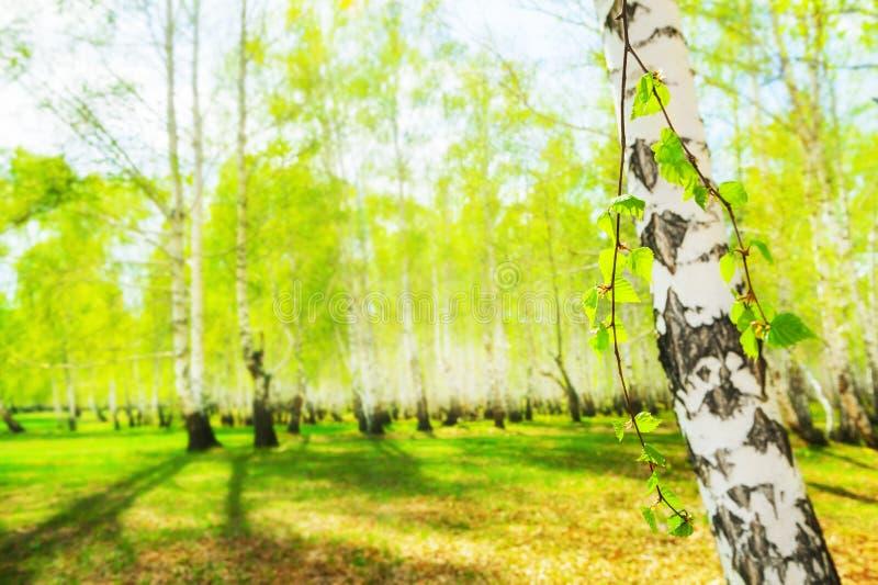 Berk met groene bladeren in een de lentebos bij zonnige dag Groene aardachtergrond stock afbeelding