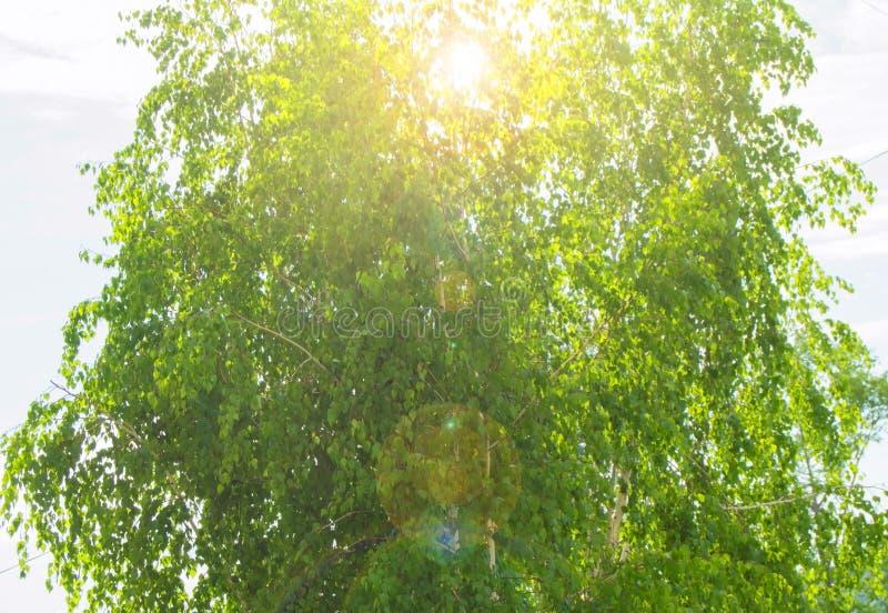 Berk, zonlicht en glans door de groene bladeren van de boom in de ochtendzon, de achtergrond van aard royalty-vrije stock afbeeldingen