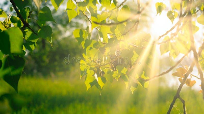 Berkbladeren backlit in daglicht, met exemplaarruimte royalty-vrije stock fotografie
