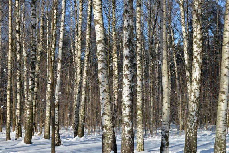 Berkbomen in de winterhout royalty-vrije stock afbeelding
