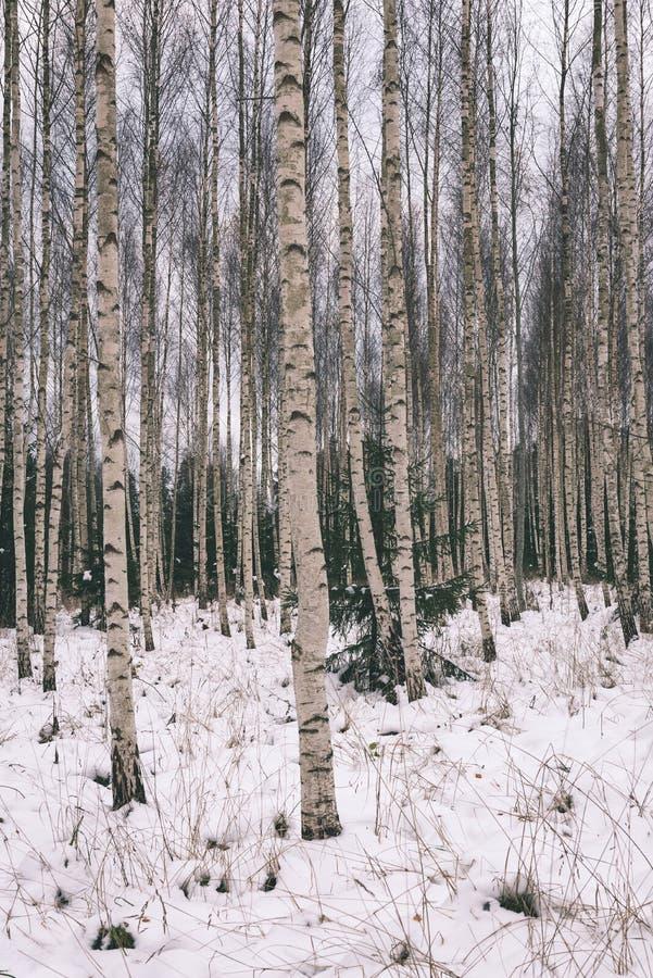 berkbomen in de wintersneeuw - uitstekend retro effect royalty-vrije stock foto's