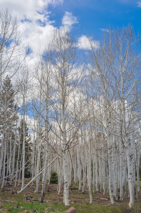Berkbomen Dixie National Forest stock afbeeldingen