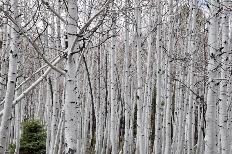 Berkbomen Dixie National Forest stock afbeelding