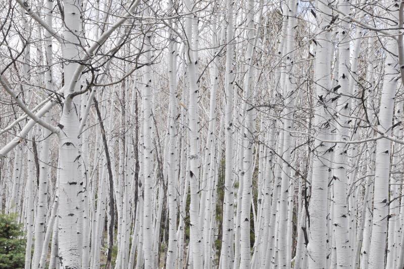 Berkbomen Dixie National Forest stock foto's
