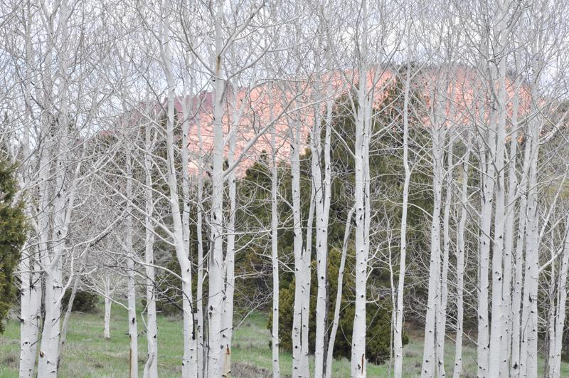 Berkbomen Dixie National Forest royalty-vrije stock afbeelding
