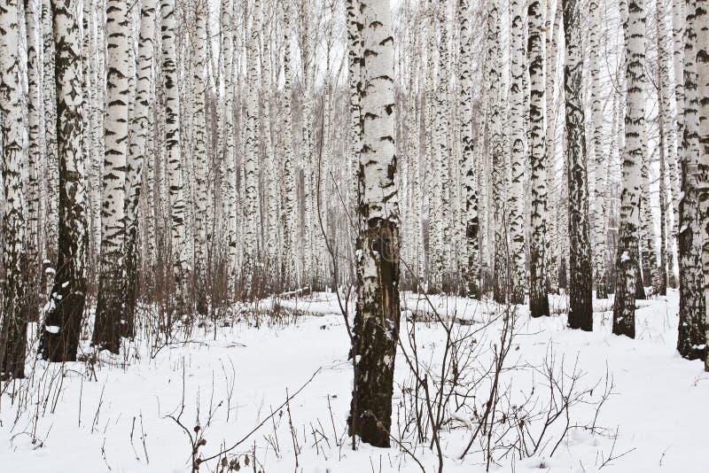 Berkbomen in het de winterbos stock foto's