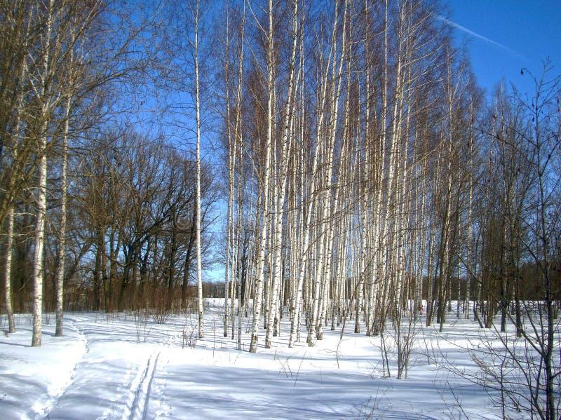Berkbomen in het park stock foto