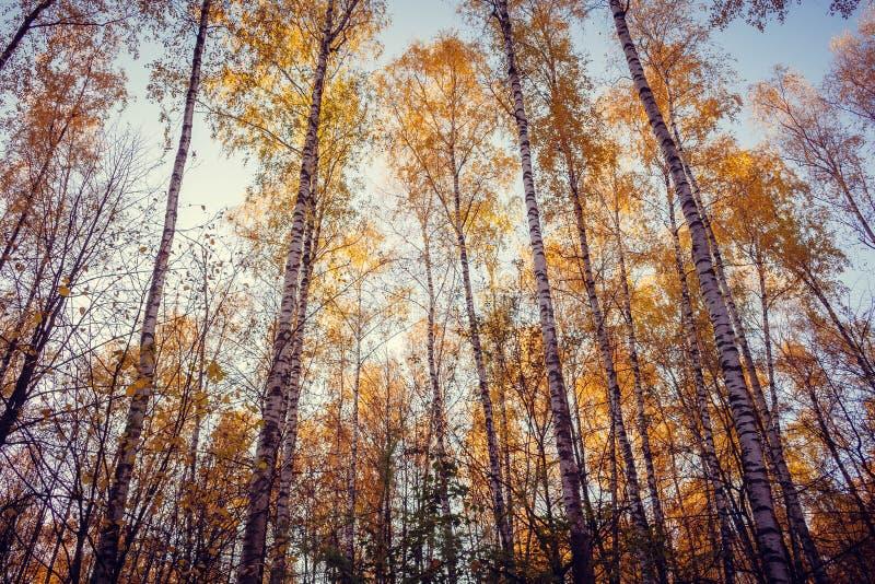 Berkbomen met gele bladerenstijging tegen de blauwe hemel stock foto's