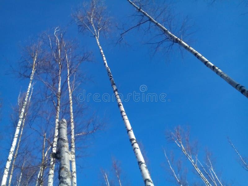 Berkbomen tegen de duidelijke de winterhemel royalty-vrije stock afbeeldingen