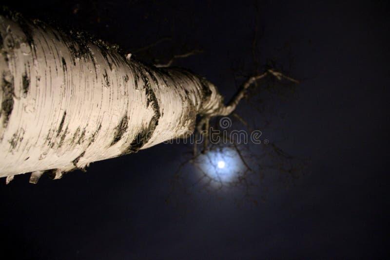 Berkboom door de maan wordt aangestoken die stock foto's
