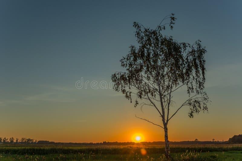Berkboom en zonsondergang op de blauwe hemel stock foto