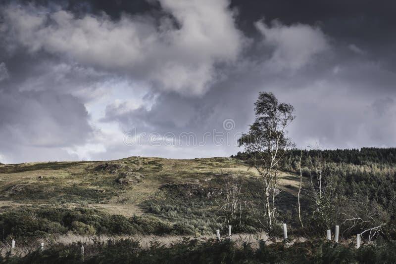Berkboom het groeien op de bodem van heuvel Toneellandschap van Meerdistrict, Cumbria, het UK stock foto