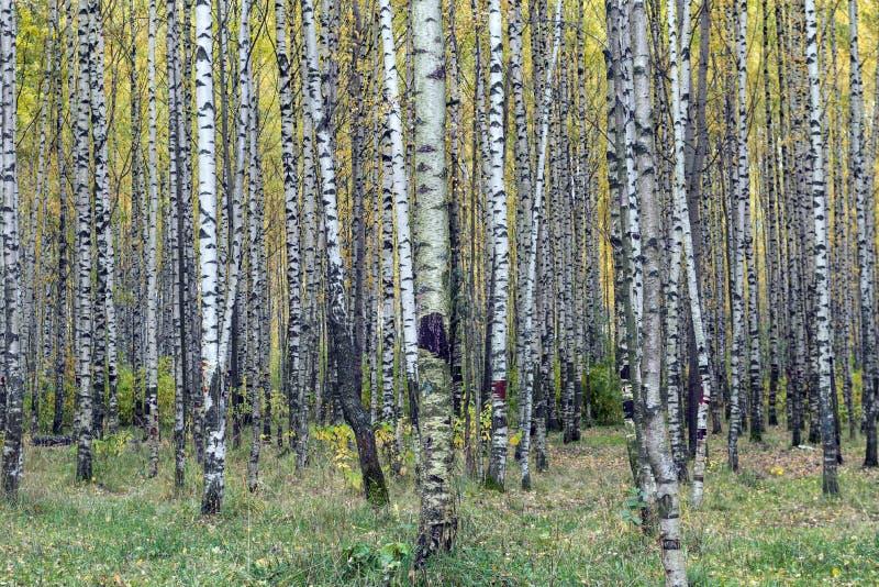 Berkbos in de herfst, boomboomstammen, gele bladeren stock afbeelding