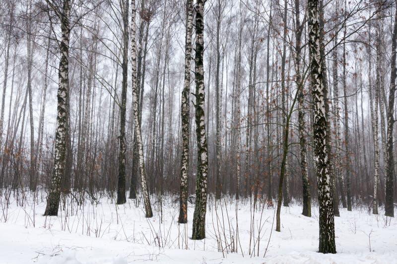 Berkbos in de sneeuwwinter royalty-vrije stock afbeelding