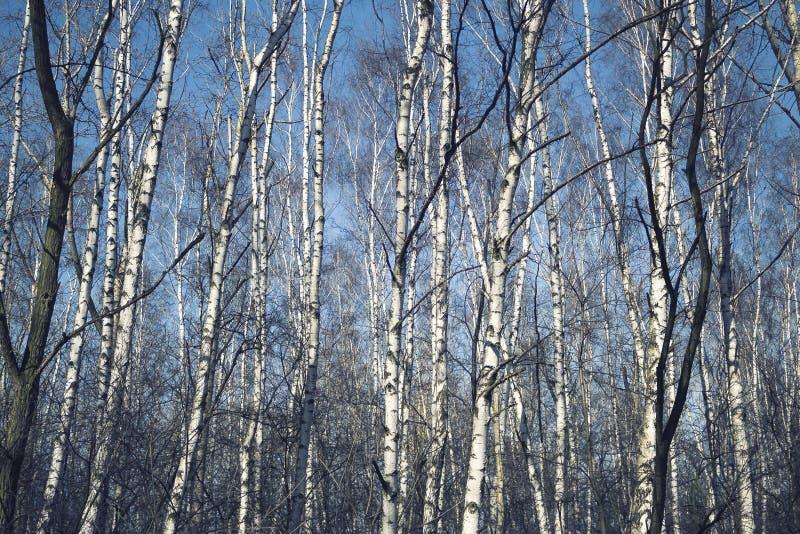 Download Berkbos in de vroege lente stock foto. Afbeelding bestaande uit naughty - 114225752