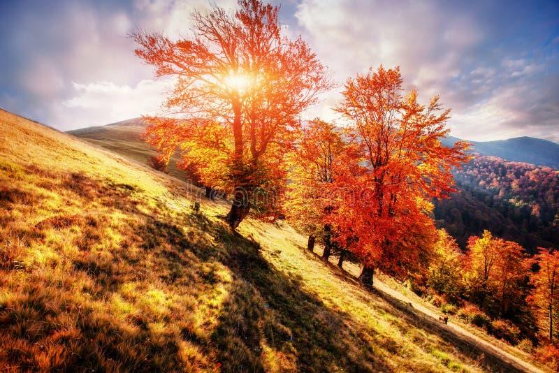 berkbos in zonnige middag terwijl de herfstseizoen Autumn Landscape ukraine stock afbeeldingen