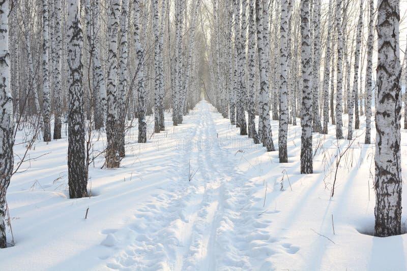 Berkbosje in de winter stock fotografie