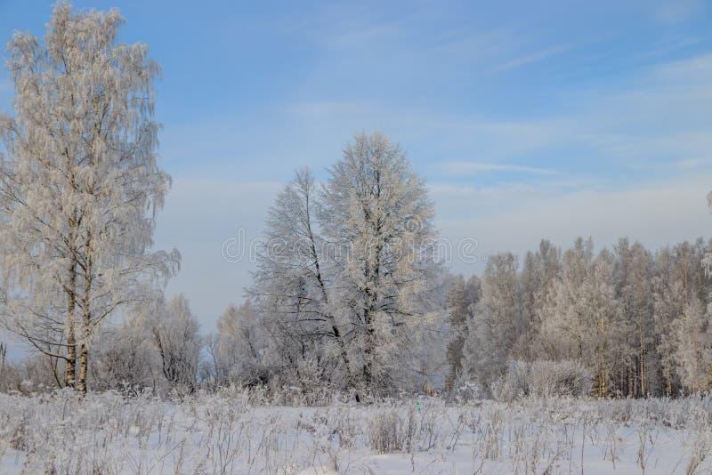 Berkbosje in de winter in de sneeuw Witte bomen Bomen in de sneeuw Sneeuwbeeld Het bosje van het de winterlandschap van witte bom stock afbeeldingen