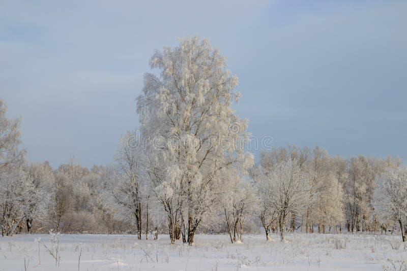 Berkbosje in de winter in de sneeuw Witte bomen Bomen in de sneeuw Sneeuwbeeld Het bosje van het de winterlandschap van witte bom royalty-vrije stock foto