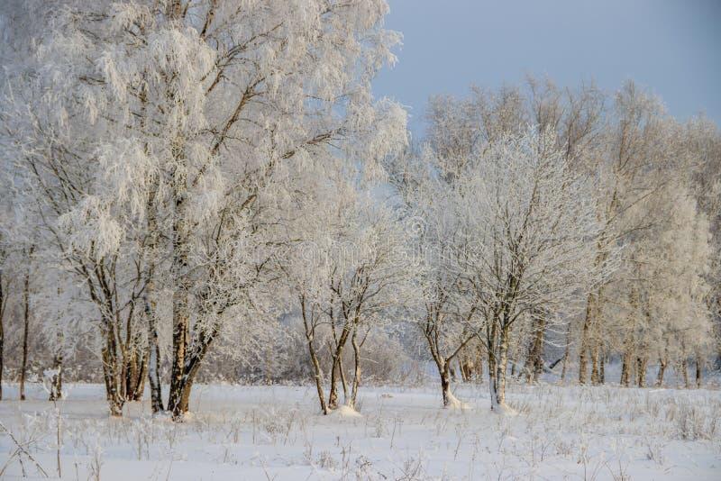 Berkbosje in de winter in de sneeuw Witte bomen Bomen in de sneeuw Sneeuwbeeld Het bosje van het de winterlandschap van witte bom stock afbeelding