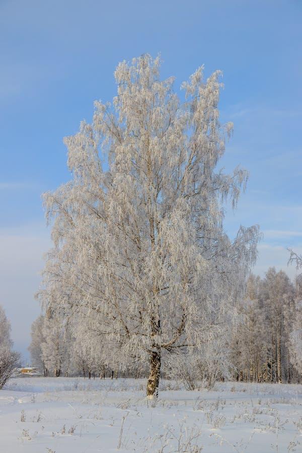 Berkbosje in de winter in de sneeuw Witte bomen Bomen in de sneeuw Sneeuwbeeld Het bosje van het de winterlandschap van witte bom royalty-vrije stock fotografie