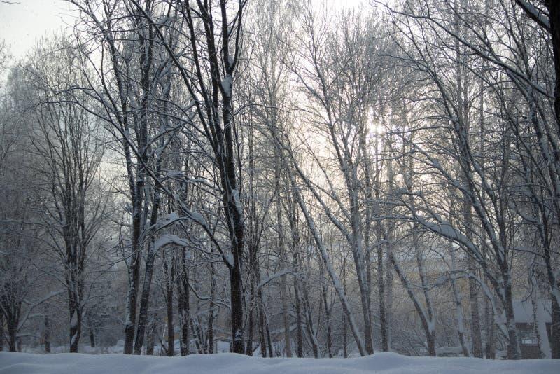 Berkbosje in de winter in de sneeuw Witte bomen Bomen in de sneeuw Sneeuwbeeld Het bosje van het de winterlandschap van witte bom stock fotografie