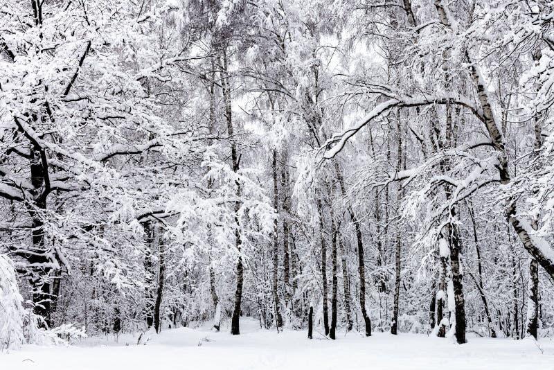 berkbosje en eiken boom in sneeuwbos in de winter royalty-vrije stock fotografie