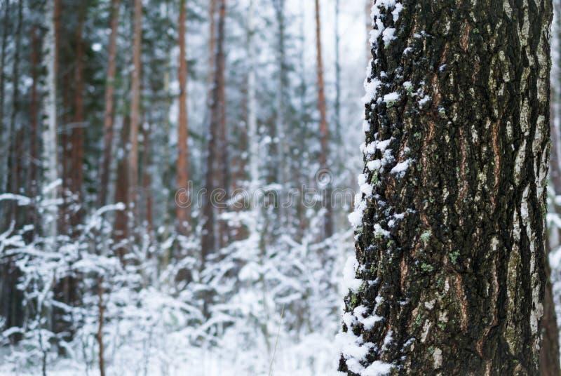 Berkehout in de winter de milieuachtergrond royalty-vrije stock foto's