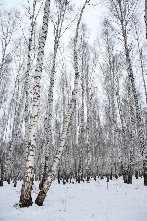 Berkehout in de winter Rusland royalty-vrije stock afbeeldingen