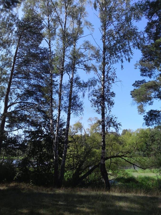 Berken en moeras op het recht op het eiland dichtbij Tver stock fotografie