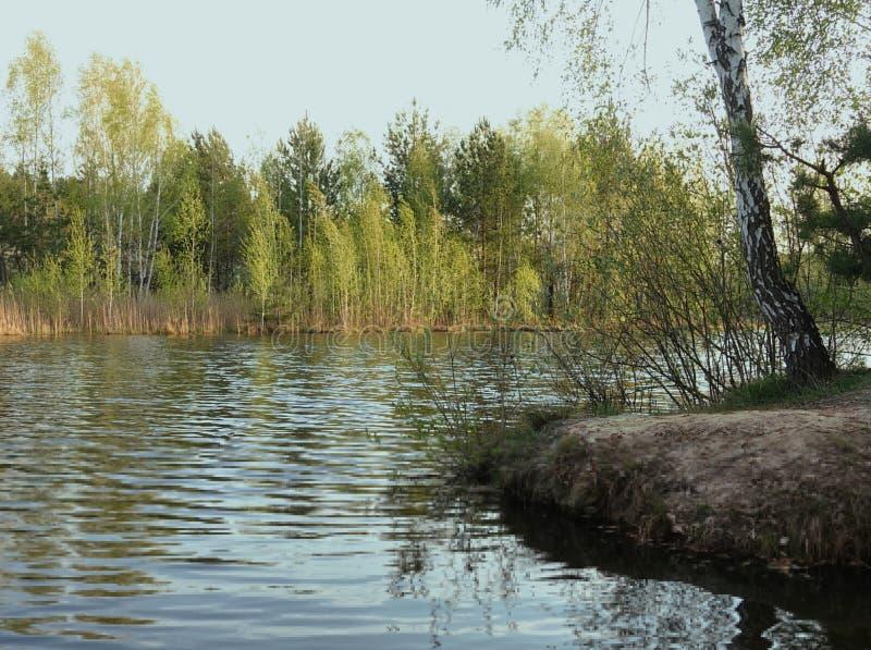 Berken op de rivierbank in de lentetijd royalty-vrije stock foto