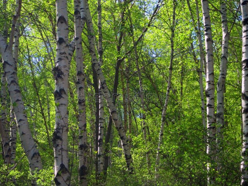 Berkenbos;老峰顶的,河北,中国桦树森林 免版税库存图片