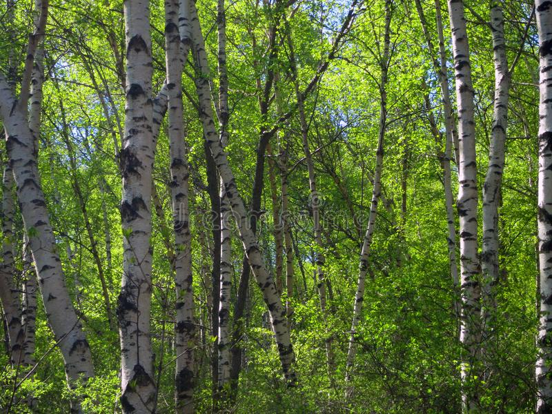 Berkenbos; Birch forest at Old Peak, Hebei, China royalty free stock images