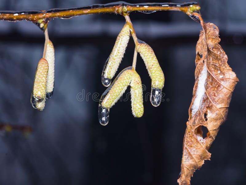 Berkkatjes door ijskorrels worden verglaasd op tak met droog blad in de winterclose-up, selectieve nadruk die, ondiepe DOF royalty-vrije stock afbeelding