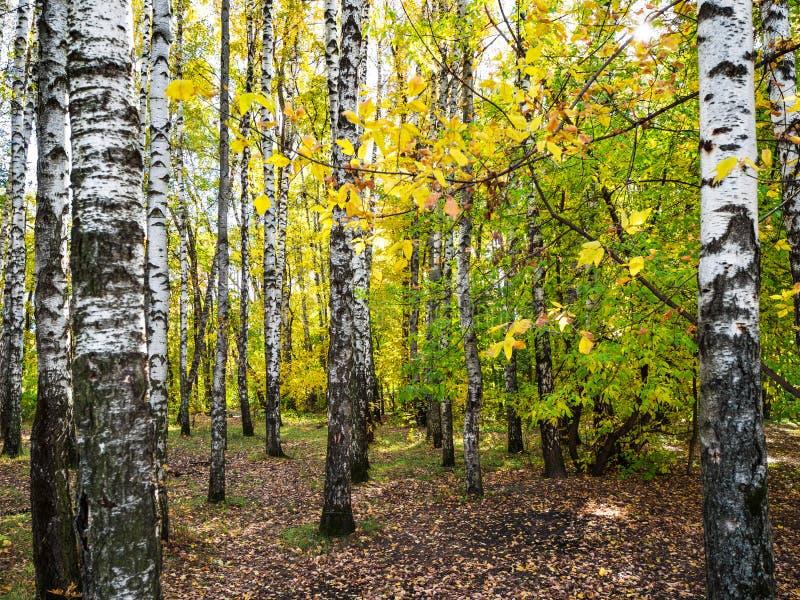 berkkreupelbosje in de herfst fores stock foto's
