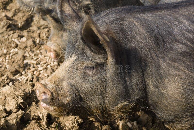 Berkshire czerni świnia fotografia royalty free