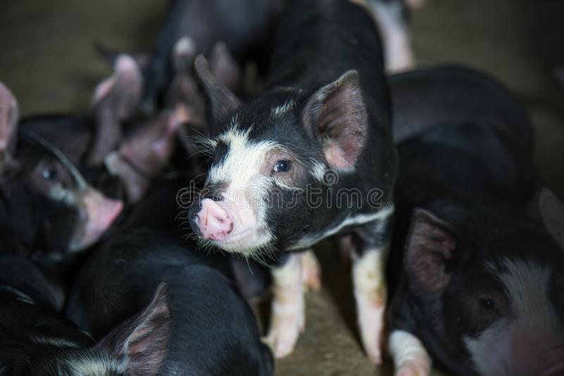 Pig Business. Swine farm with black pig name Berkshire stock photos