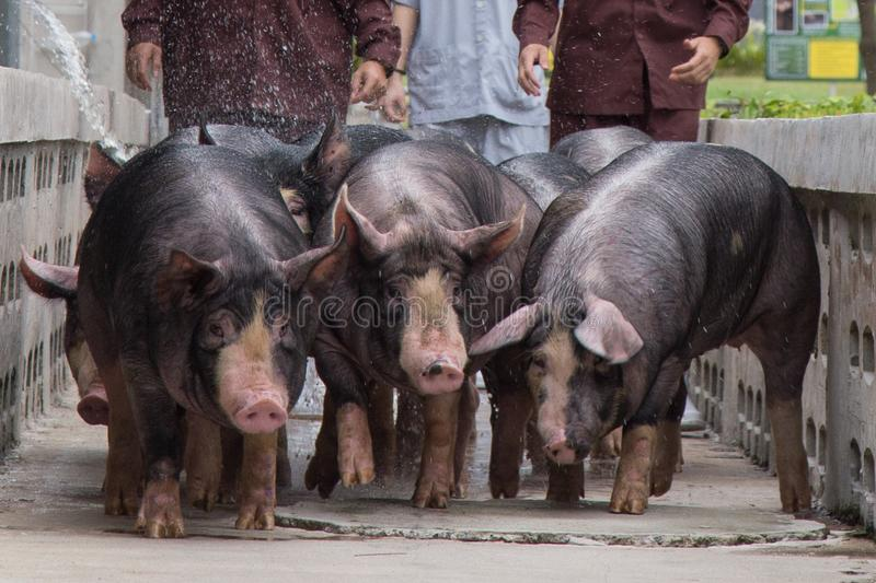 Kurobuta Pig - swine farming business in relax time royalty free stock images