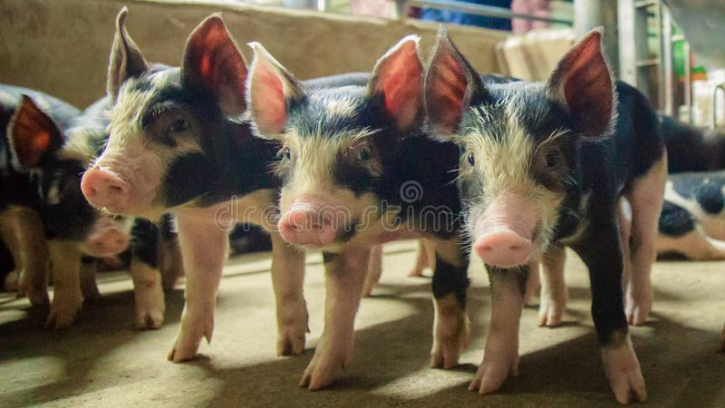 Kurobuta Pig - swine farming business in relax time stock image