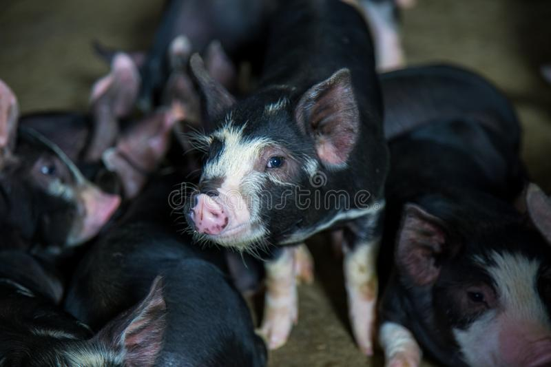 Swine farming business in relax time stock photos