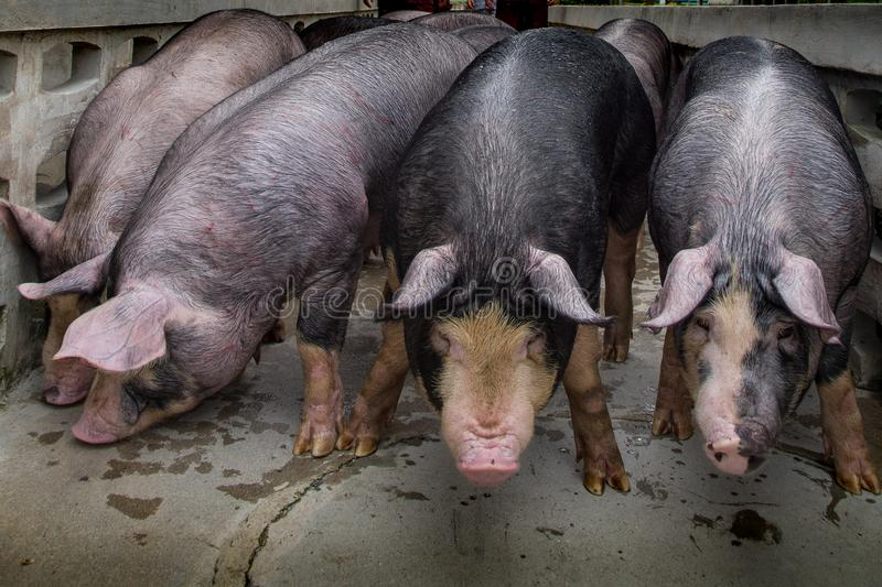 Swine farming business in relax time stock photography