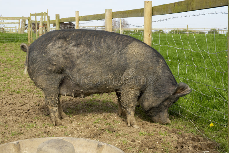 Berkshire_sow57 royalty free stock photography