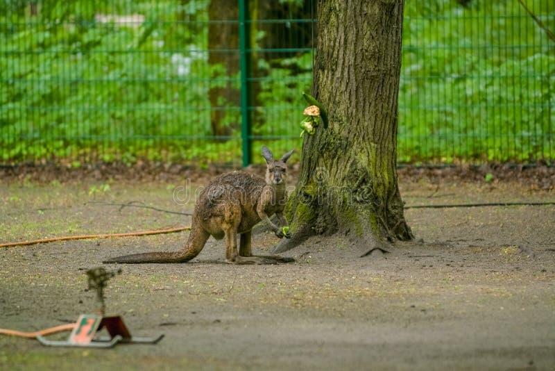 14 05 2019 Berlijn, Duitsland Dierentuin Tiagarden De kleine kangoeroe loopt over het grondgebied en zoekt voedsel royalty-vrije stock afbeeldingen